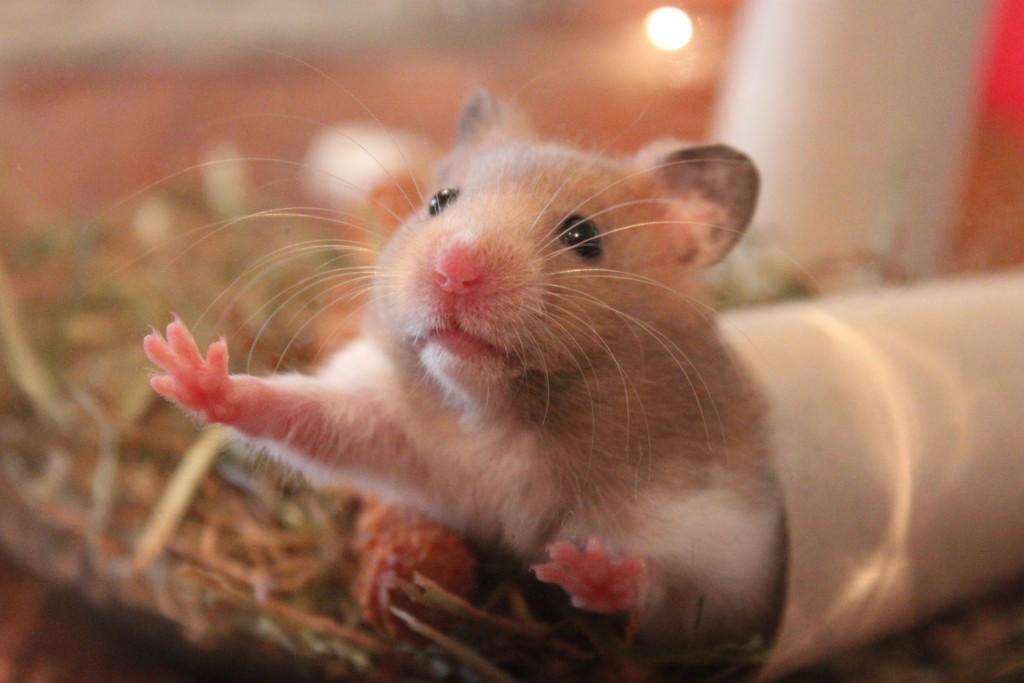 hamster-1000846_1920