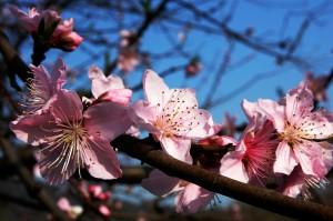 plum-blossom-283115_1920