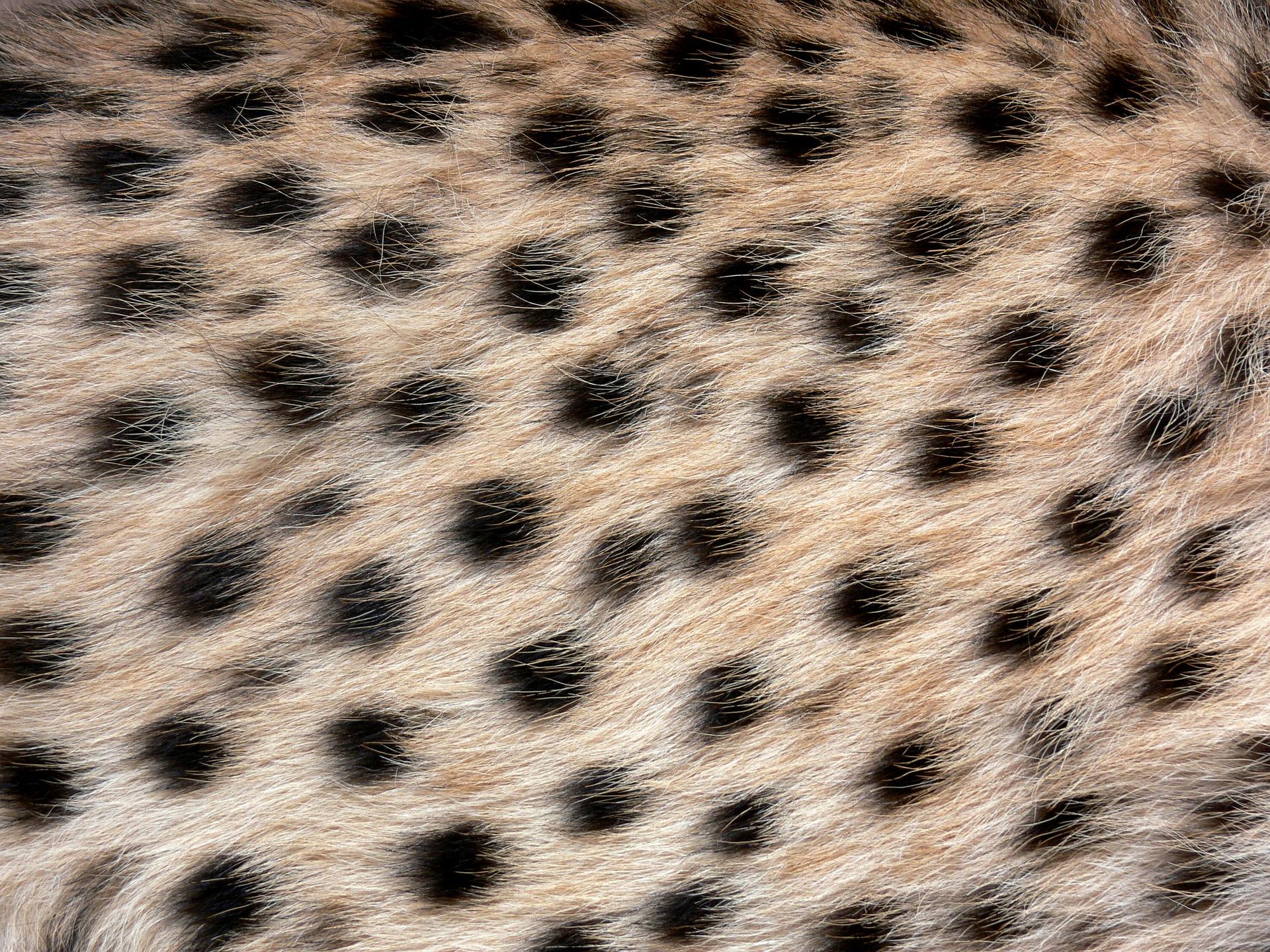 cheetah-275988_1920