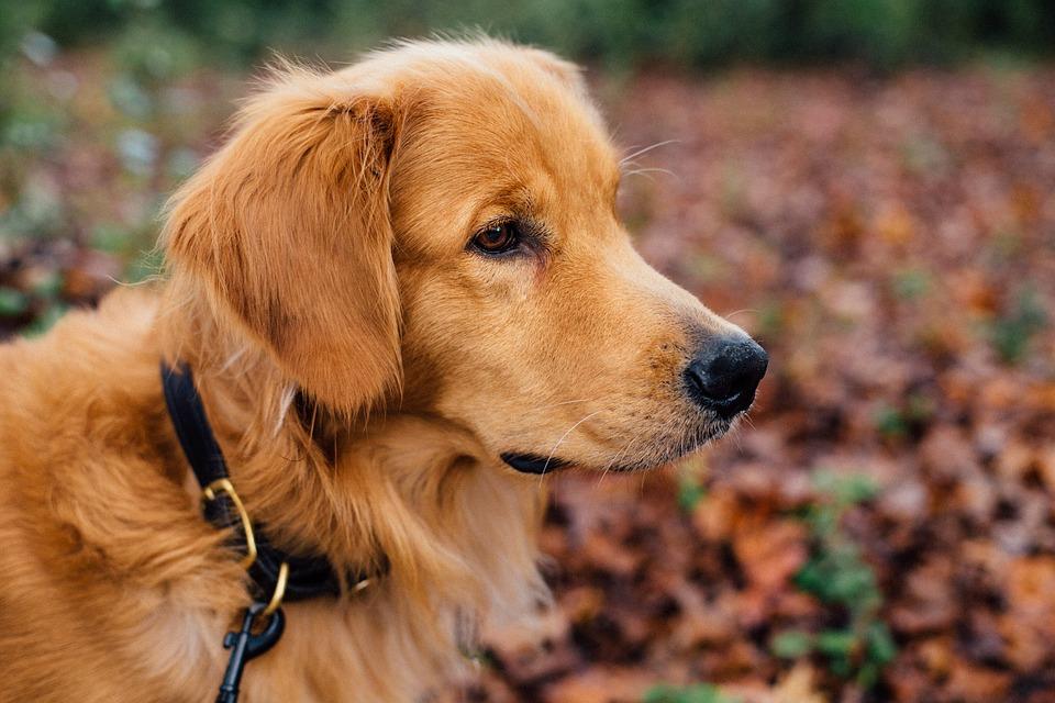 dog-1082307_960_720