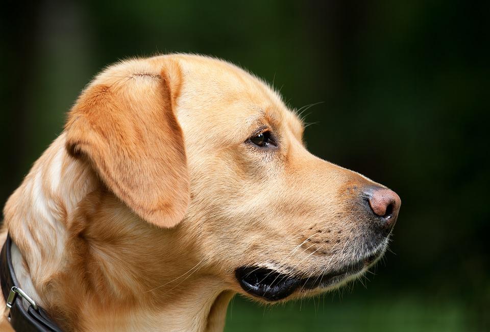 dog-1194083_960_720