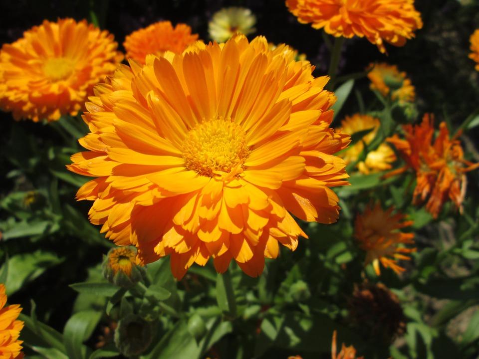 marigold-835636_960_720