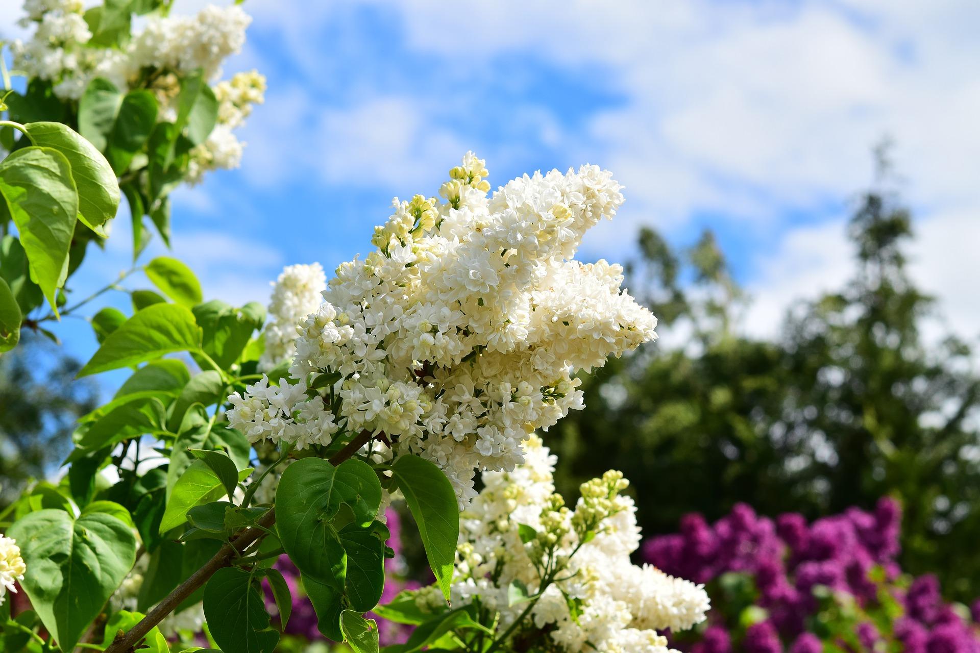 white-lilac-785287_1920